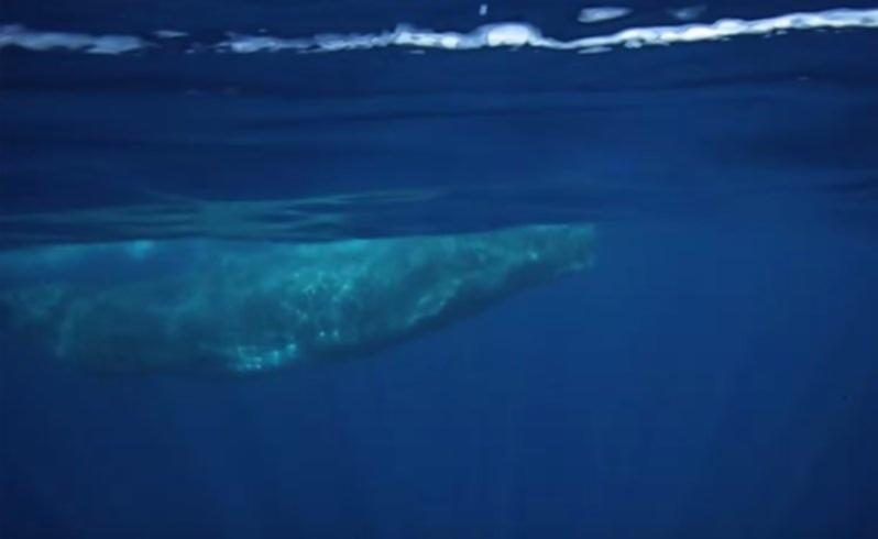 Terra Australis film rare Australian sperm whale